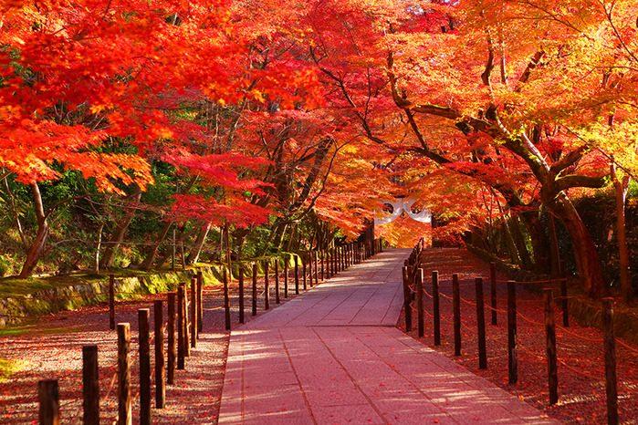 cây mùa thu hàn quốc