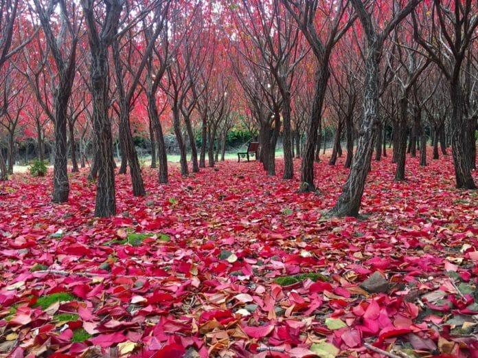 hwasal cây mùa thu hàn quốc